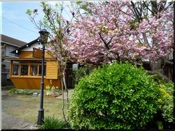 P1130055-250-sakura-muse.jpg